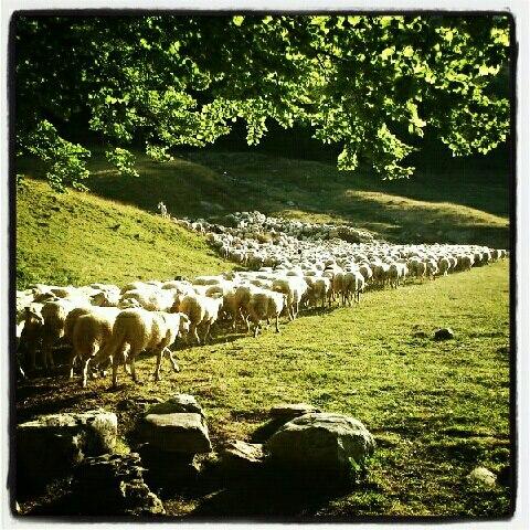 Piedra, oveja y hayedo.jpg